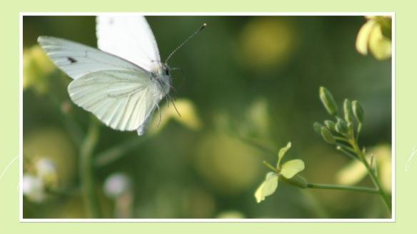 Farfallina bianca